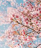 SF Cherry Blossom Festival