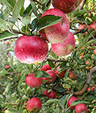 Apple Picking in Brentwood
