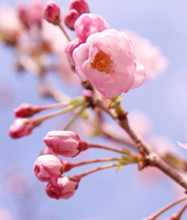 Northern California Cherry Blossom Festival