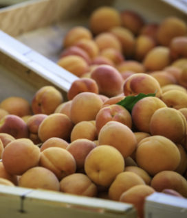 Local Apricots are Here!